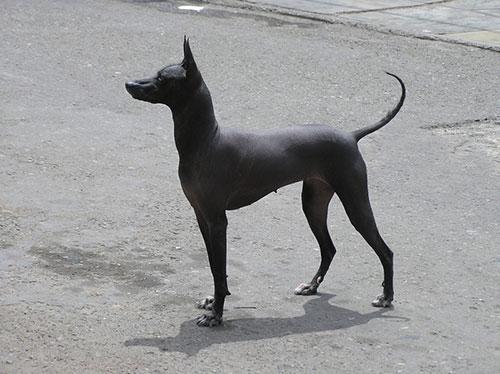 cane nudo peruviano nano