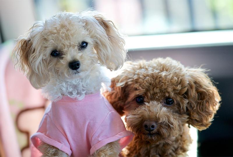 Cani nani da appartamento: le 17 razze più amate