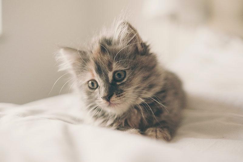 gatti grigi