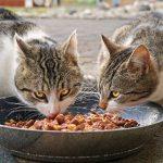 Cibo preferito dei gatti: guida all'alimentazione del gatto