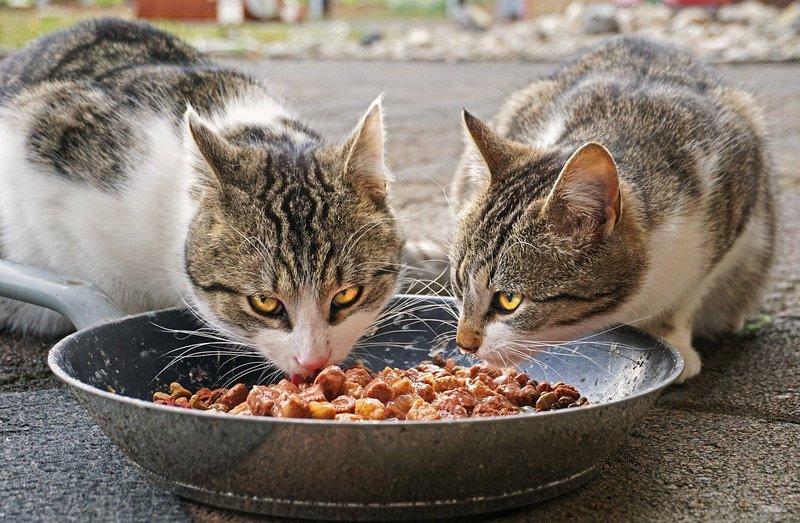 Cibo preferito dai gatti
