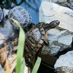 Tartarughe d'acqua dolce: razze e caratteristiche