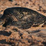 Tartarughe di terra: le razze più diffuse