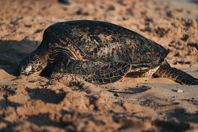tartaruga di terra razza