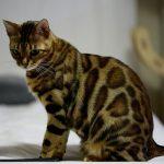 Gatto Bengala: carattere, prezzo e consigli