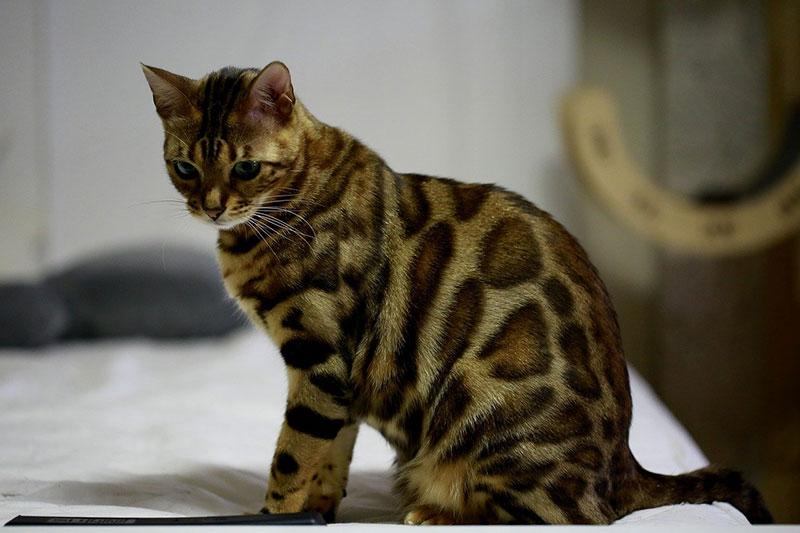 Gatto Bengala che sta seduto