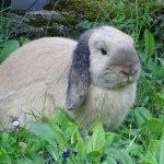 Coniglio nano ariete: carattere e comportamento