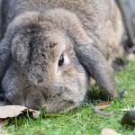 Alimentazione coniglio nano: scopri cosa mangia (la guida)