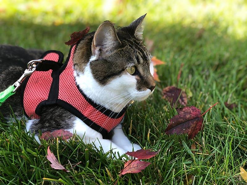 Migliori pettorine per gatti: come scegliere