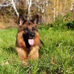 Cane da pastore tedesco: tutto quello che c'è da sapere