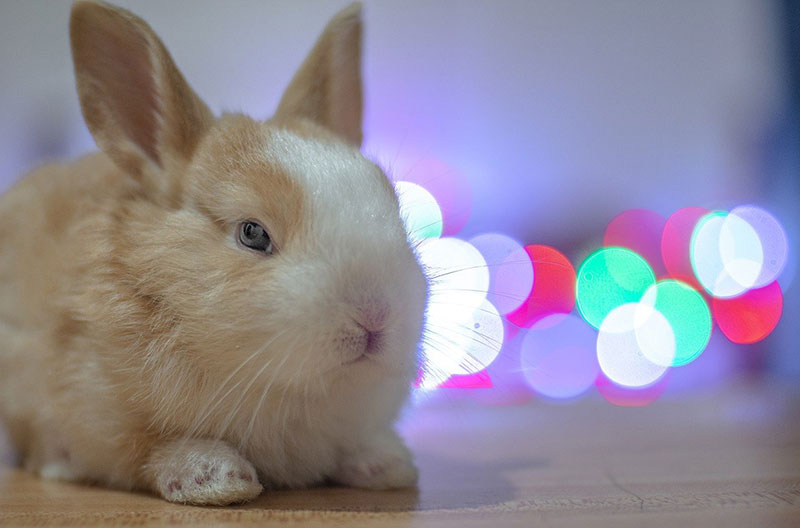 Coniglio domestico: razze, caratteristiche, come tenerlo