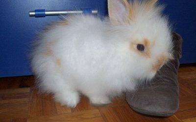 Coniglio d'Angora: caratteristiche, alimentazione, salute