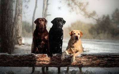 Labrador Retriever: carattere, alimentazione e prezzi
