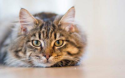 Sterilizzazione e castrazione del gatto maschio: la guida