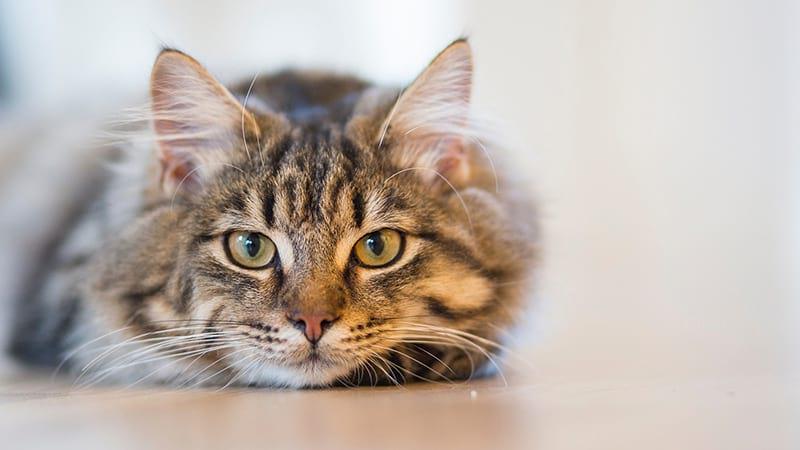 sterilizzazione gatto maschio