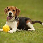 Cane Beagle: carattere, alimentazione e prezzi