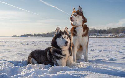 Siberian Husky: carattere, alimentazione e prezzi
