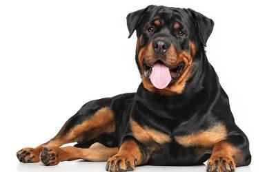 Rottweiler: carattere, alimentazione e prezzi
