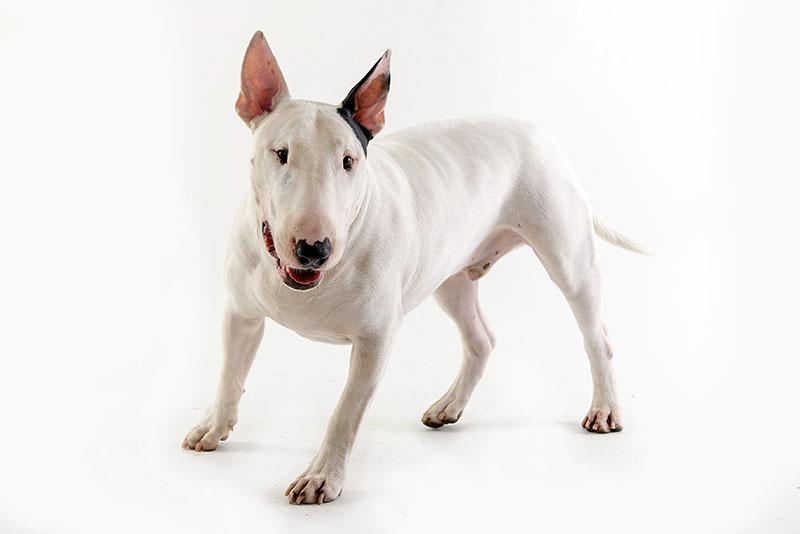 Bull Terrier: carattere, alimentazione e prezzi