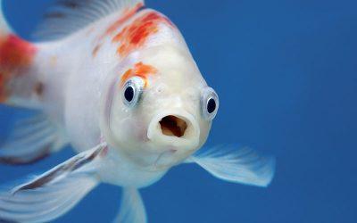 Mangime per pesci rossi: guida alla scelta del cibo migliore