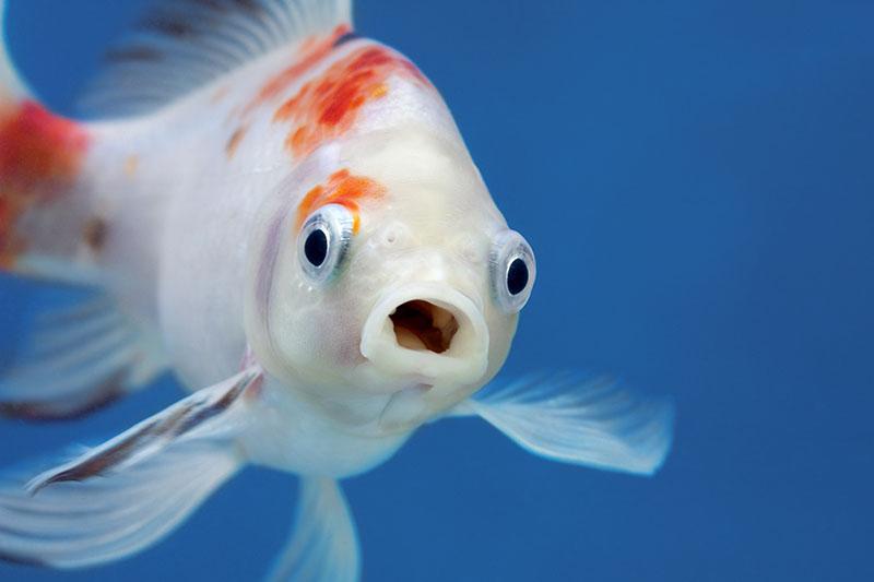 Mangime per i pesci rossi