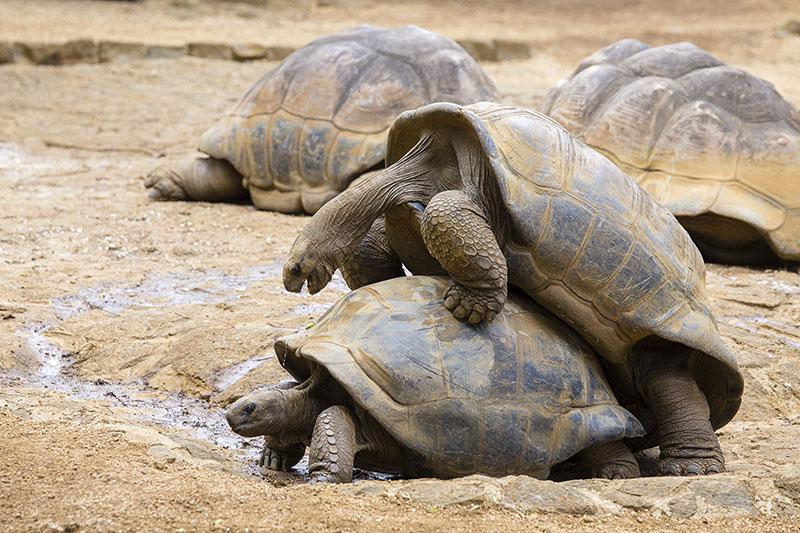 Accoppiamento tartarughe: la riproduzione delle tartarughe di terra e d'acqua