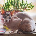Gatti senza peli: razze, carattere, curiosità
