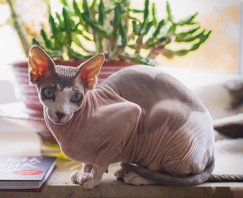 gatti senza peli